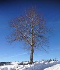 Einzelbaum mit Abstand zur Strasse