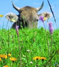 Kuh in Blumenwiese