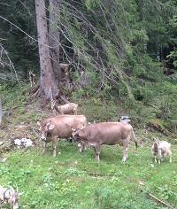 Vieh am Wald