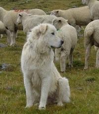 Schutzhund mit Schafherde