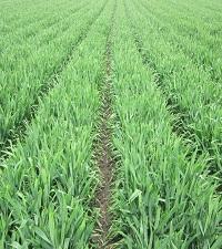 Getreide in weiter Reihe