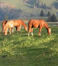 Pferde auf einer Alpweide.