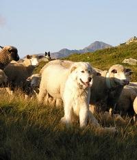 Herdenschutzhund (Bild Agridea)