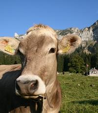 Weide mit Kühen.