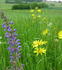 Artenreiche Blumenwiese