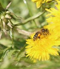 Biene bestäubt Löwenzahn