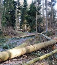 Umgestürzte Bäume auf Waldstrasse.