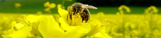 Honigbiene auf Rapsblüte